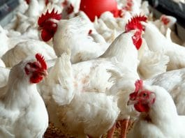 Plaas TV, Pluimveevoeding, avian influenza