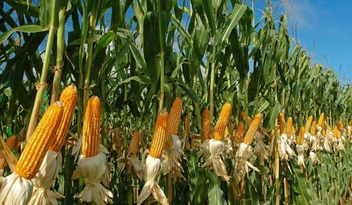 research papers on maize production
