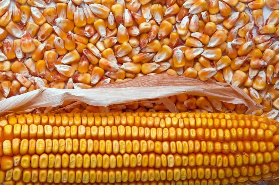 The latest maize export situation - AgriOrbit