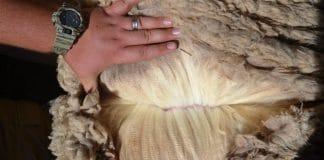 Cape Wools