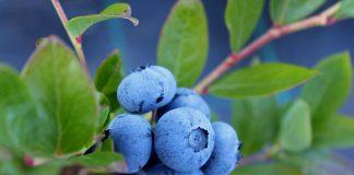 Blueberries, app
