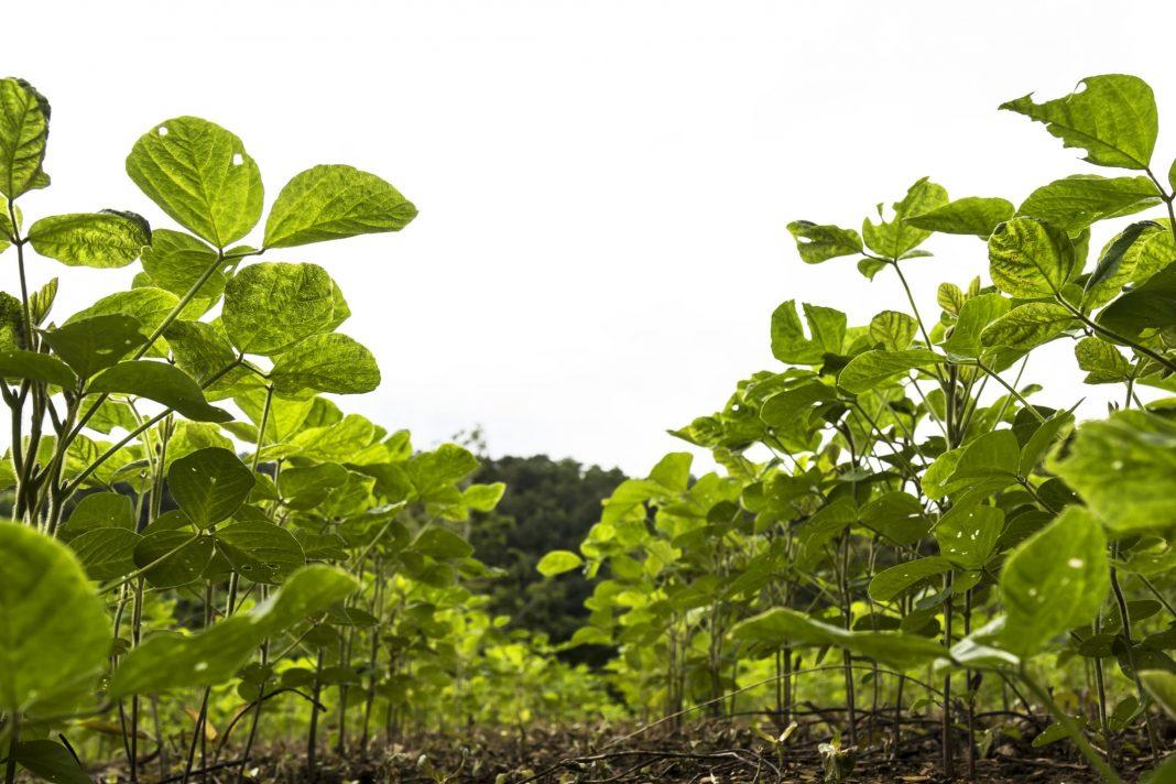 RSG Landbou, soya bean production