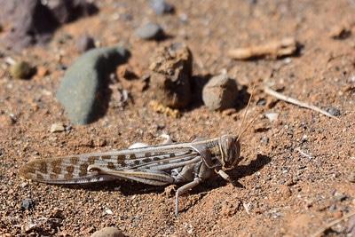 brown locust
