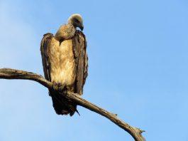 Plaas TV, vulture