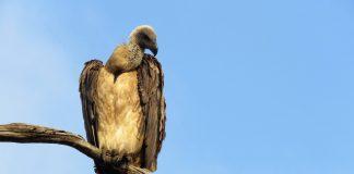 vulture conservation