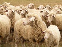 sheep, kuddebestuur