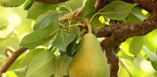 Deciduous fruit