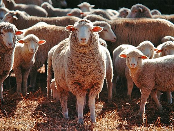 sheep mutton indicators