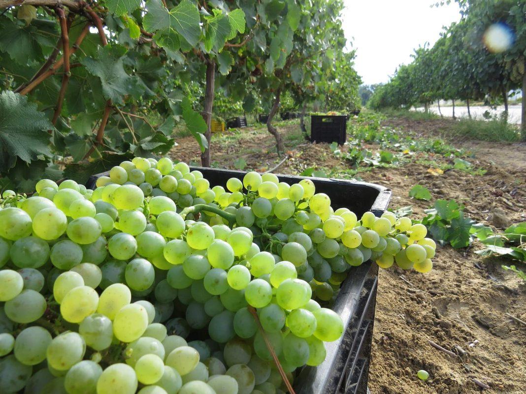 GDP, wine harvest