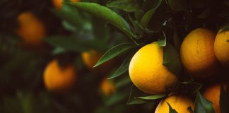 citrus export levy black citrus growers