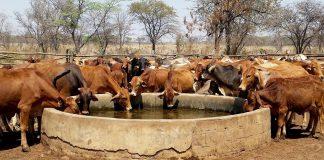 Farm TV, beef cattle