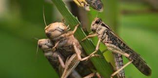 locusts, locust, sprinkane