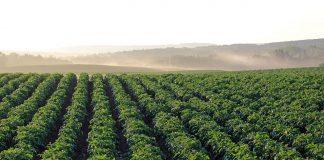 Potatoes SA, PSA