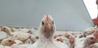 Plaas TV, Farm TV, Sa Poultrychicken