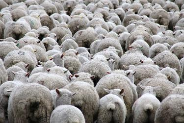 wool merino