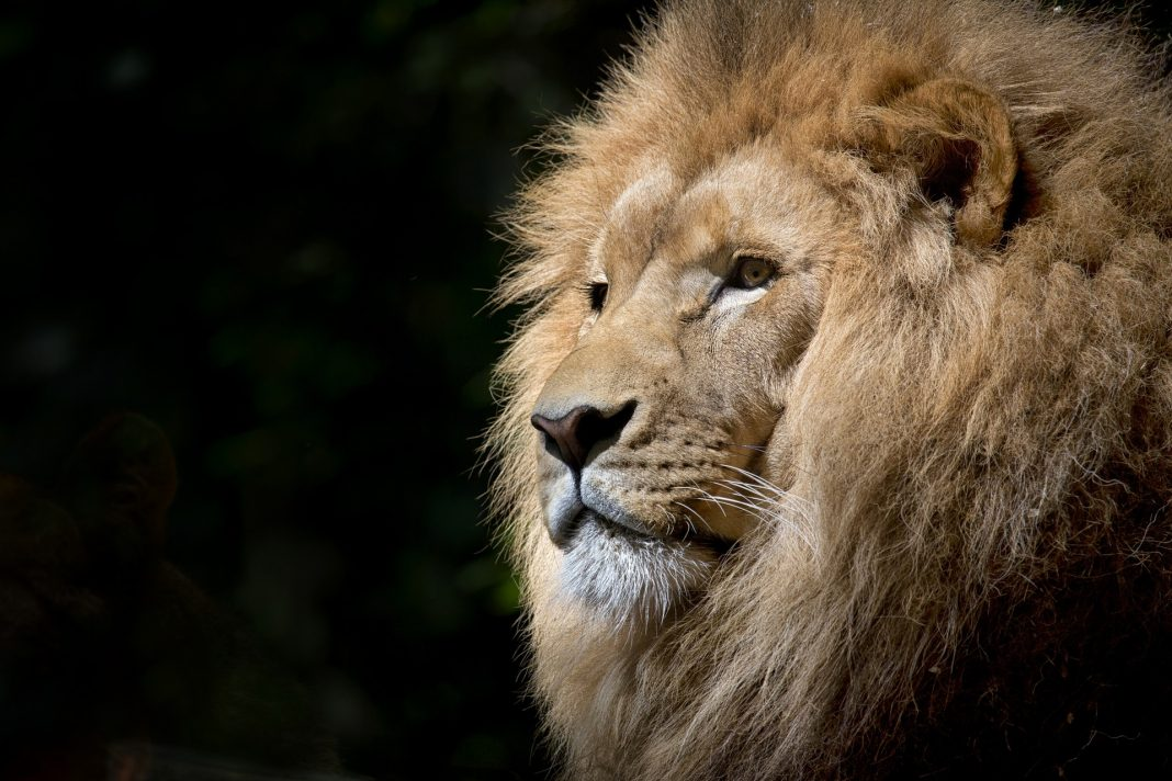 Plaas TV, lion