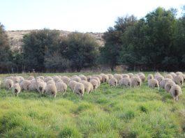 Beproefde stelsel vir intensiewe skaapboerdery